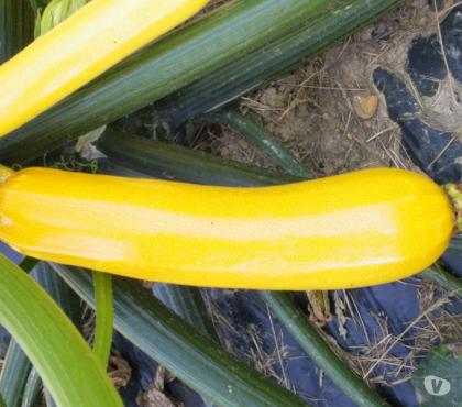 Photos Vivastreet graines de courgette Gold Rush