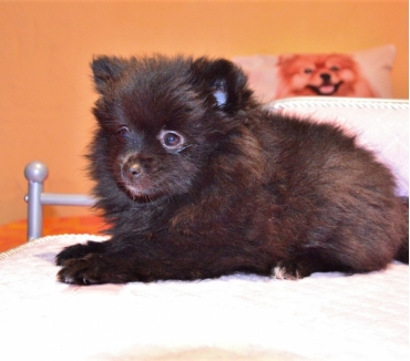 Photos Vivastreet spitz allemand LOF
