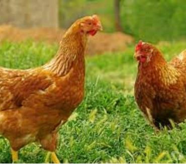 Photos Vivastreet Recherche poules poussins coqs