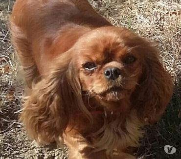 Photos Vivastreet CAVALIER KING CHARLES LOF CONFIRME