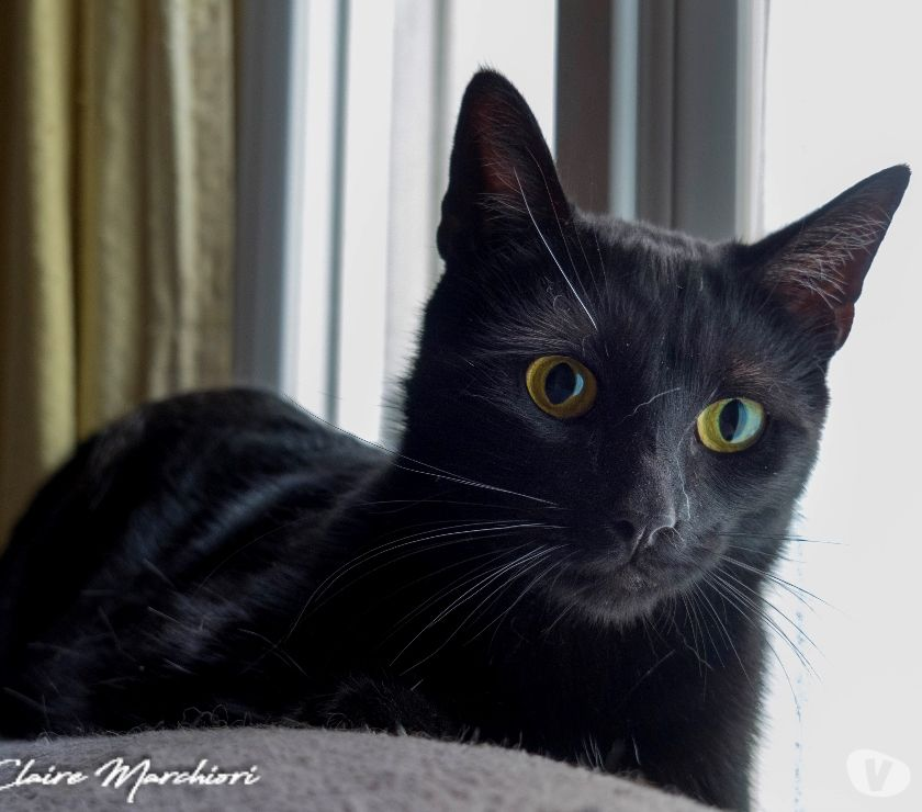Photos Vivastreet A adopter, NOOKY, chat noir 1an