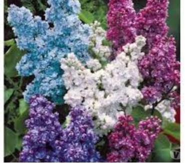 Photos Vivastreet Lilas de mon jardin