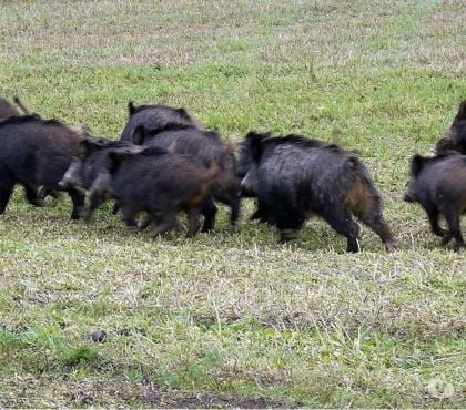 Photos Vivastreet Action de chasse sangliers, chevreuils