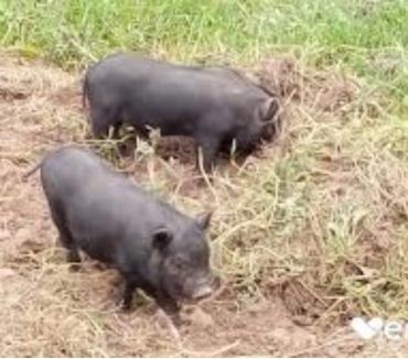 Photos Vivastreet Cherche don de cochons Vietnamien