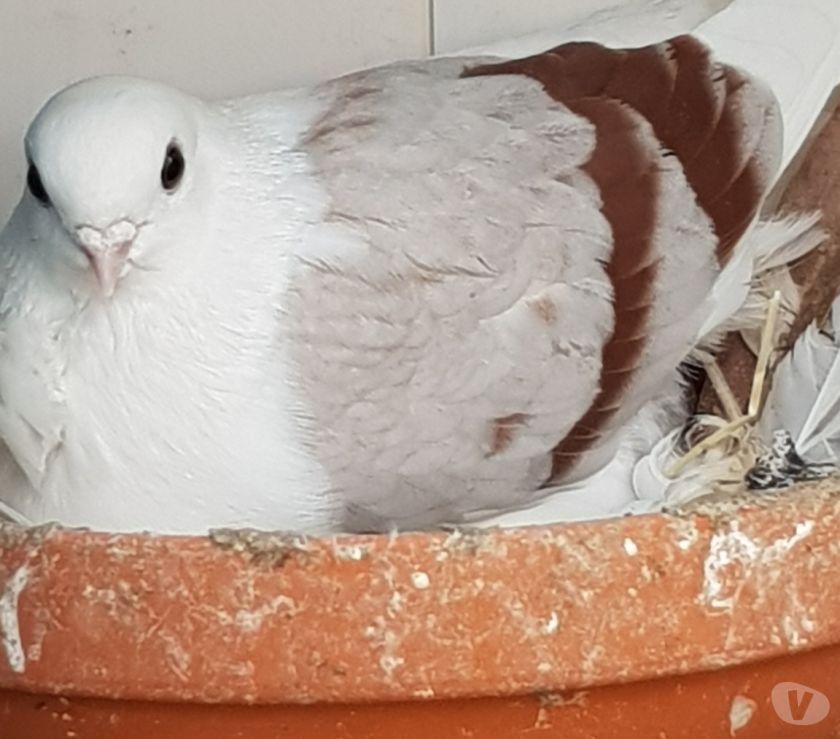 Vente Bouches-du-Rhône Marseille - Photos Vivastreet Pigeon cravate figurita