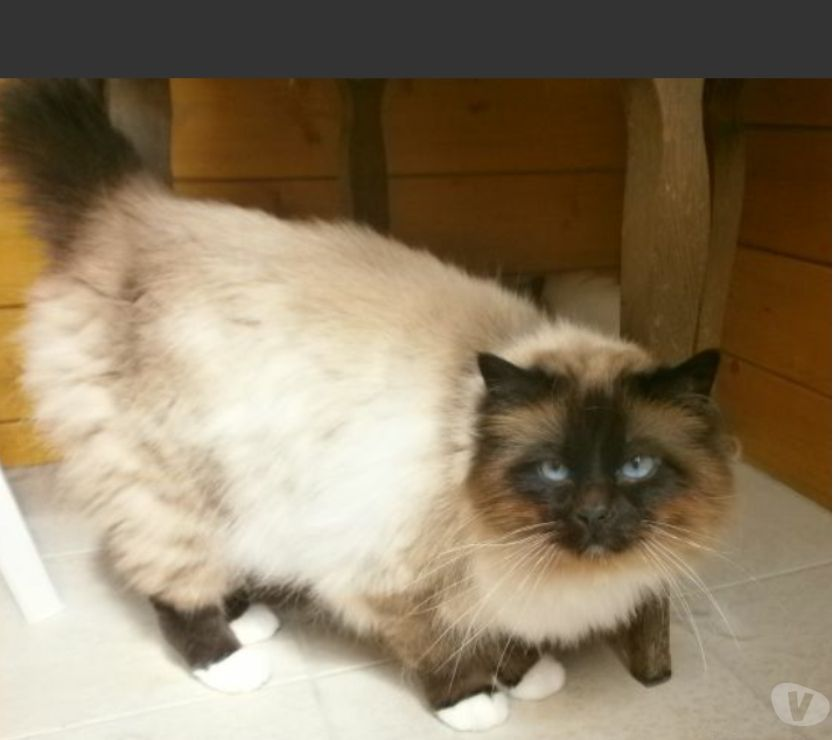 Vente Nord Maubeuge - Photos Vivastreet chatons non loof chocolat,seal et lilac point