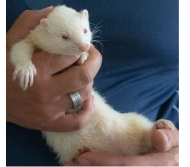 Photos Vivastreet NEVADA, adorable furette albinos à l'adoption