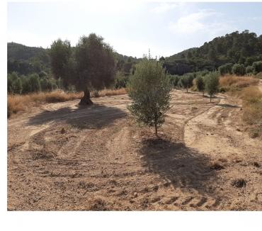 Photos Vivastreet 20000m2 avec des oliviers en pleine production
