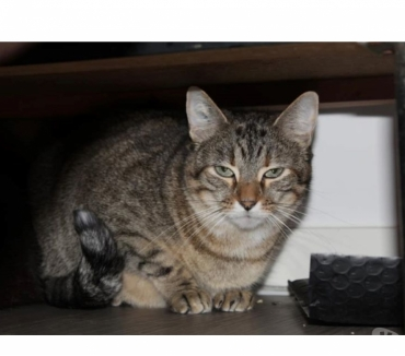 Photos Vivastreet PURE, gentille chatte tigrée à l'adoption