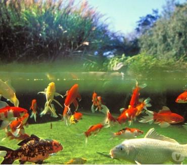 Photos Vivastreet poisson de bassin ou d'aquarium