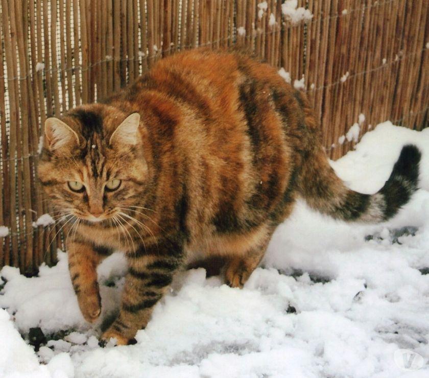 Photos Vivastreet Perdu chatte à Rouvenac (11260)