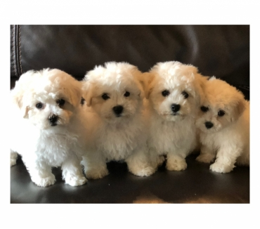 Photos Vivastreet CHIOTS BICHON FRISE INSCRIT AU LOF