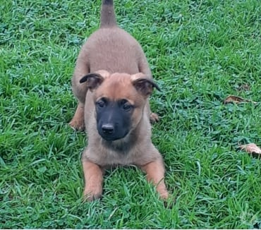 Photos Vivastreet Chiot Berger Belge Malinois LOF