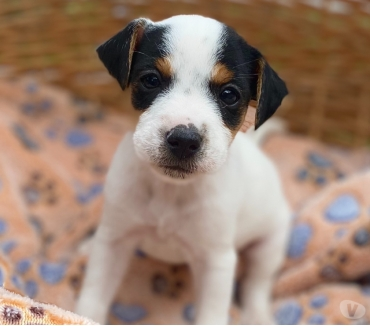 Photos Vivastreet Chiots Jack Russell