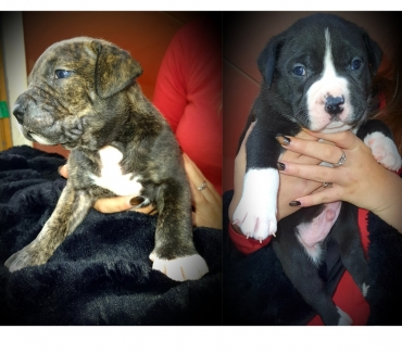 Photos Vivastreet Chiot American bully xl