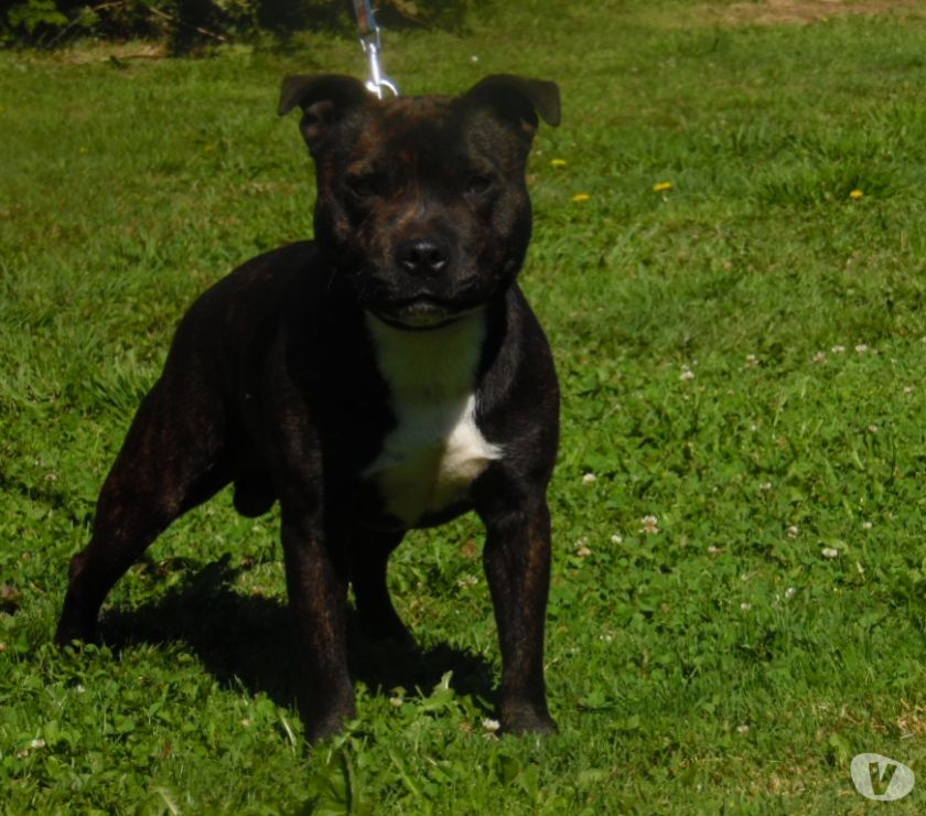 Photos Vivastreet Staffordshire bull terrier disponible pour saillie
