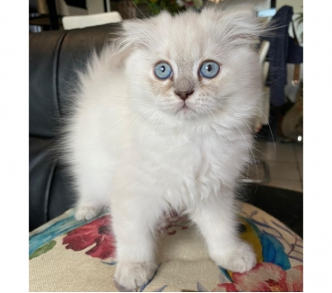 Photos Vivastreet Chaton Highland fold British longhair