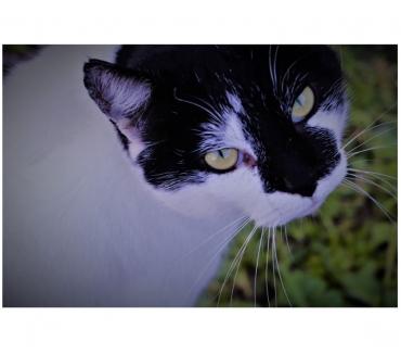 Photos Vivastreet Kinou 4 ans gentil chat cherche nouveau départ