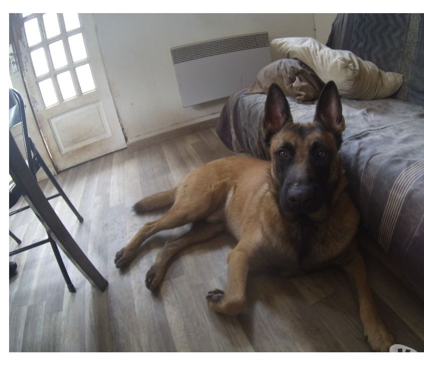 Photos Vivastreet Propose malinois pour saillie