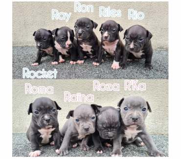 Photos Vivastreet Chiots Américan Bully Pocket ABR