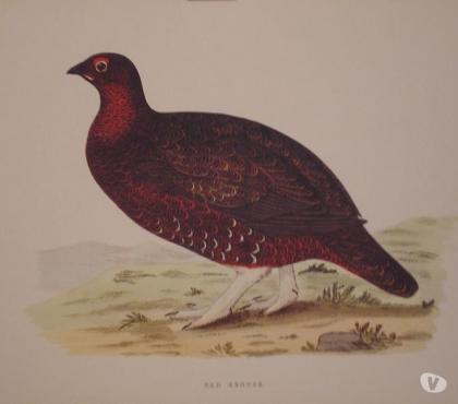 Photos Vivastreet Red Grouse - Chasse Ecosse -
