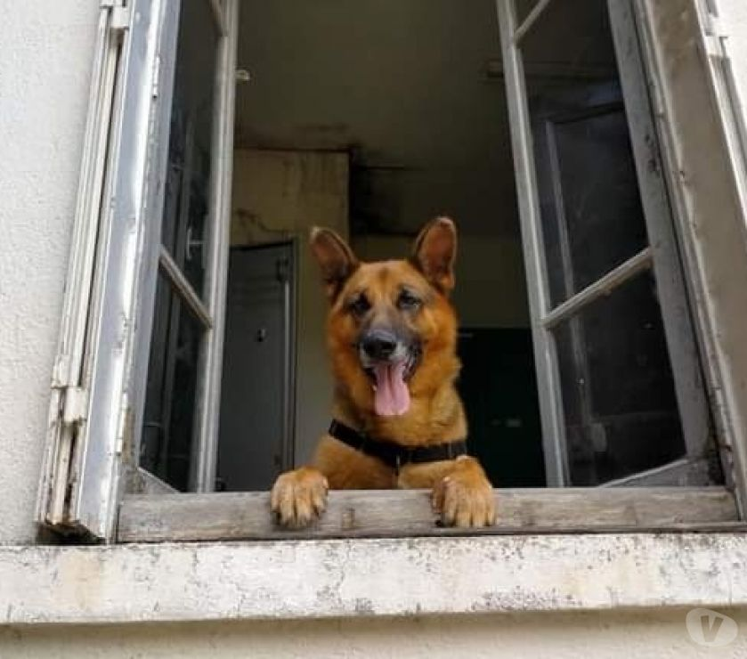 Wolf Beau Berger Allemand A Adopter Adoption Don Animaux Bourges 18000 Avec Vivastreet