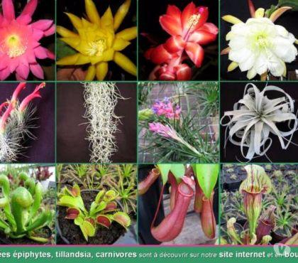 Photos Vivastreet Orchidées, Tillandsia, Epiphyllum, Carnivores (54)