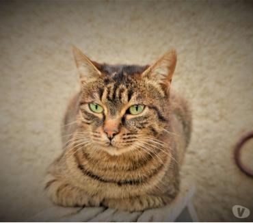 Photos Vivastreet Lena chatte tigrée 4 ans a adopter