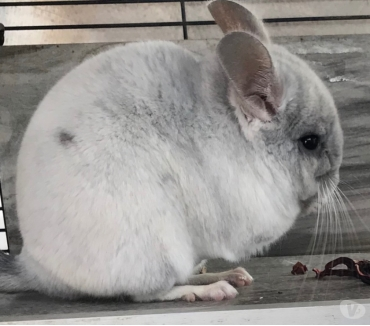 Photos Vivastreet Chinchillas
