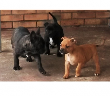 Photos Vivastreet chiots staffie lof