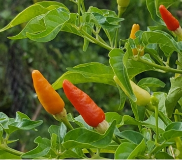 Photos Vivastreet Capsicum Frutescens Piment Oiseau - 20 graines