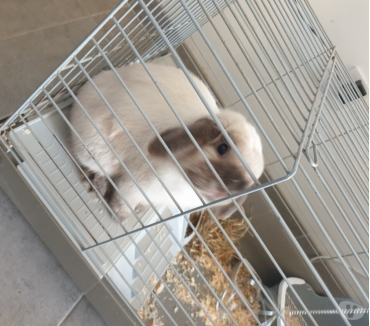 Photos Vivastreet Lapin Mini Lop