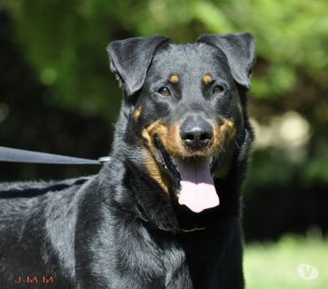 Photos Vivastreet Etalon Beauceron cotation 4, pour saillie