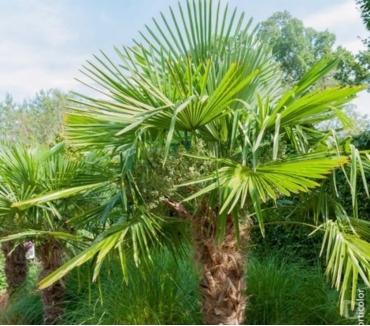 Photos Vivastreet Palmiet de Chine : effet oasis