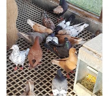 Photos Vivastreet Pigeons Triganini