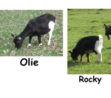 Photos Vivastreet Adorables chèvres toys sans corne