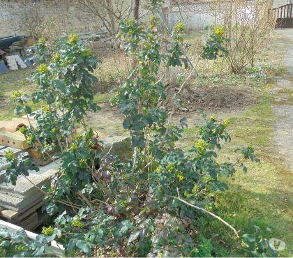 Photos Vivastreet Arbustes pour haies