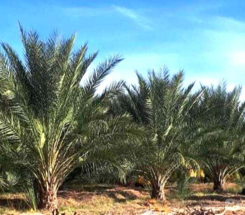 Vente Terres Agricoles Algérie - Photos Vivastreet Grande plantation de palmiers dattiers