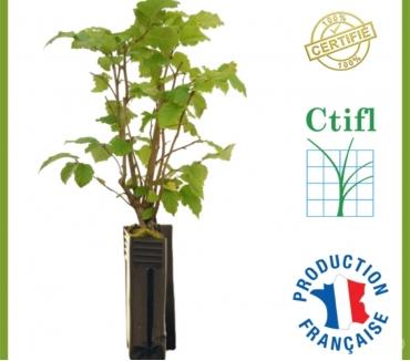 Photos Vivastreet plant truffier certifier : CTIFL