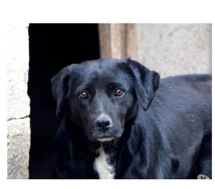 Photos Vivastreet JAYA, jolie croisée Labrador à l'adoption