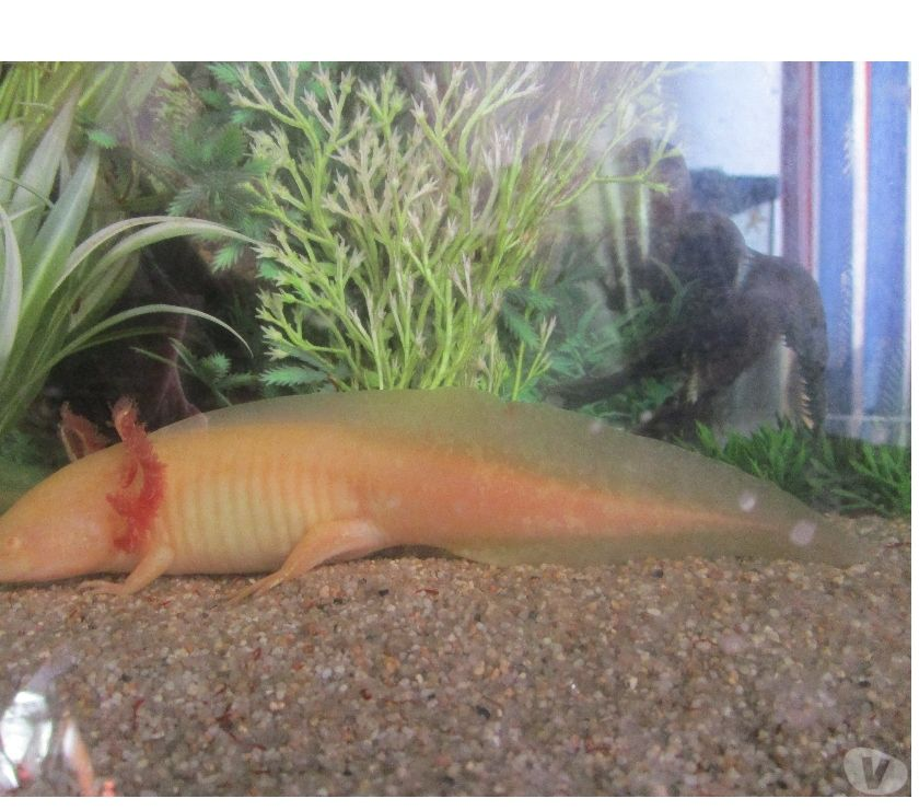 Axolotls amphibiens poissons d 39 eau froide pour aquarium for Aquarium poisson rouge eau froide