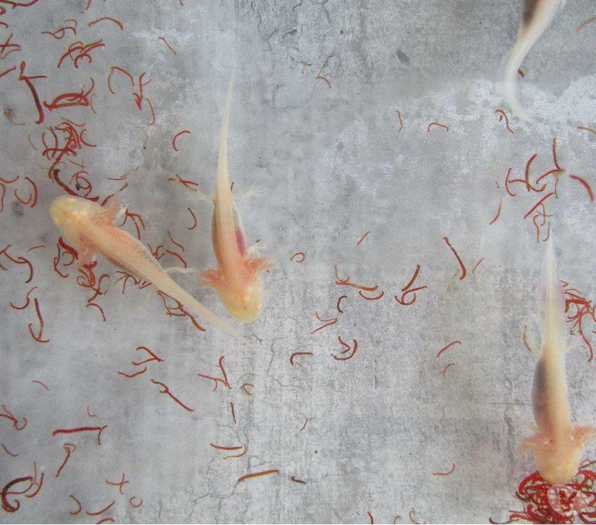 Aquarium eau froide poisson images for Poisson eau froide
