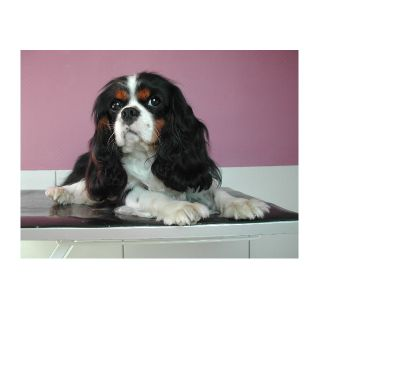 Photos Vivastreet saillie Cavalier King Charles