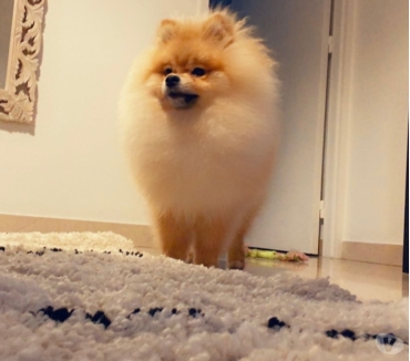 Photos Vivastreet Spitz nain pomeranien disponible pour saillie