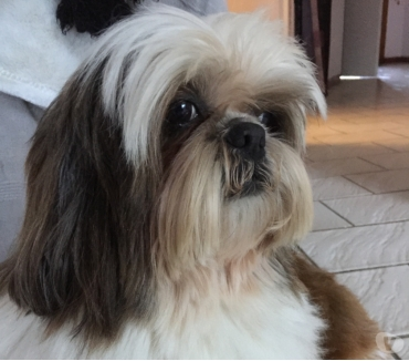 Photos Vivastreet Saillie Shih Tzu lof