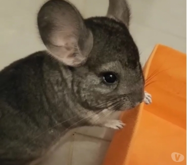Photos Vivastreet Vends cage et 4chinchillas