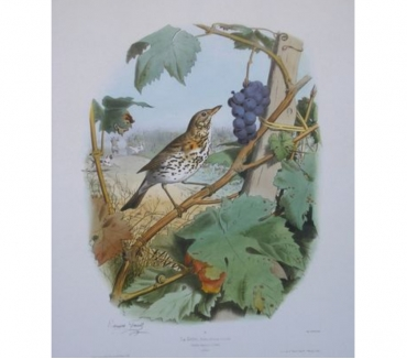 Photos Vivastreet La grive dans les vignes - Raisins - Edouard Travies