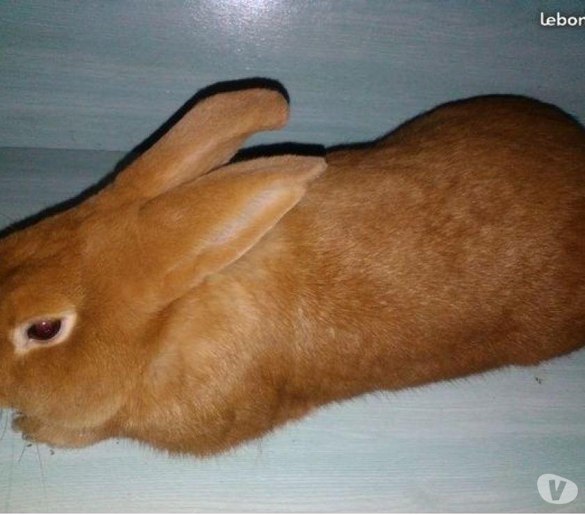 Photos Vivastreet Futurs lapins reproducteurs