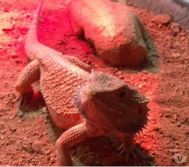 Photos Vivastreet Pogona Vitticeps Red