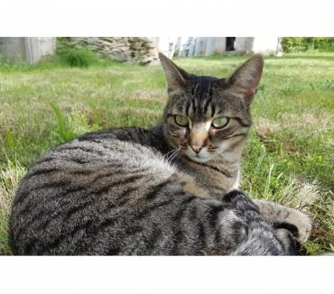 Photos Vivastreet TIGROU jeune chat tigré gentil a adopter